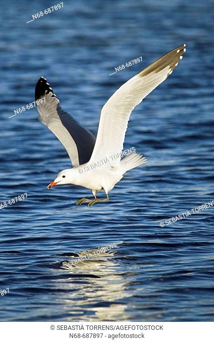 Audouin's Gull in motion