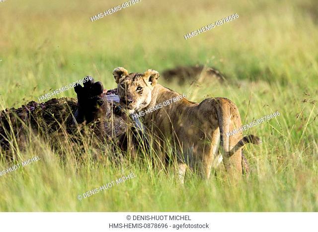 Kenya, Masai Mara National Reserve, lion (Panthera leo), eating an hippopotamus