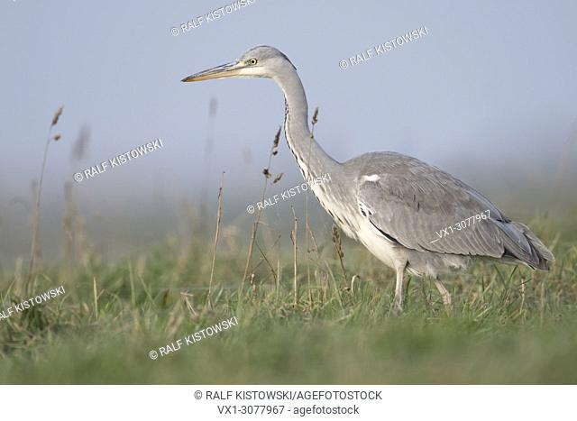 Grey Heron ( Ardea cinerea ) walking through a meadow, searching for food, in typical natural surrounding, close side view, wildlife, Europe