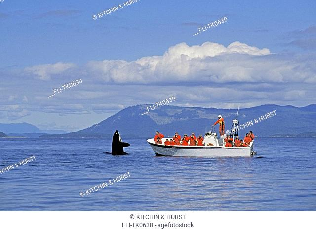 Orca,Killer Whale &whale watchers Vancouver Island, BC Canada Haro Strait Orcinus orca