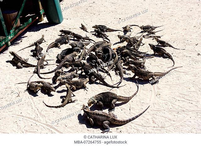 Cuba, Cayo Iguana, island, hungry iguanas