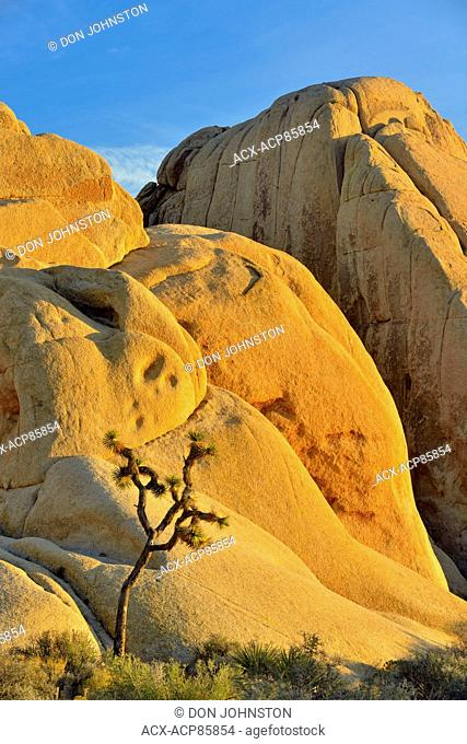 Mojave desert near sunset, featuring Joshua trees and white tank granite, Joshua Tree National Park, California, USA