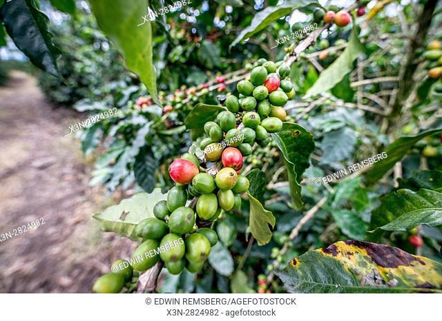 Ripe coffee beans (coffea arabica) on a coffee bush in Aquires, Costa Rica