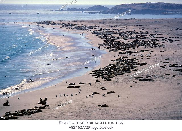 Point Bennett seal rookery, Channel Islands National Park, California