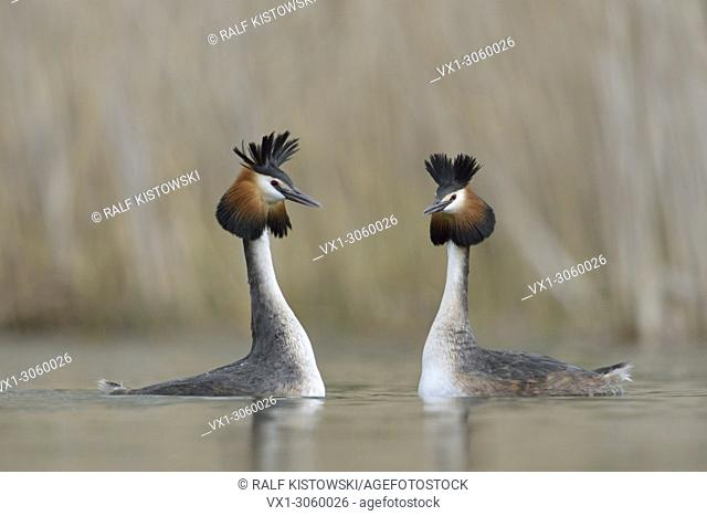 A parir of Great Crested Grebe / Grebes / Great Cresties (Podiceps cristatus) in courtship mood, wildlife, Germany, Europe