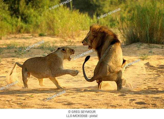 Lion Panthero Leo and Lioness Fighting in a Dried River Bed  Timbavati River, Kruger National Park, Limpopo Province, South Africa