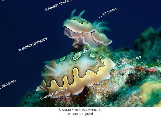 Two nudibranch or sea slug Co's Goniobranchus (Chromodoris coi) South China Sea, Redang, Malaysia, Asia