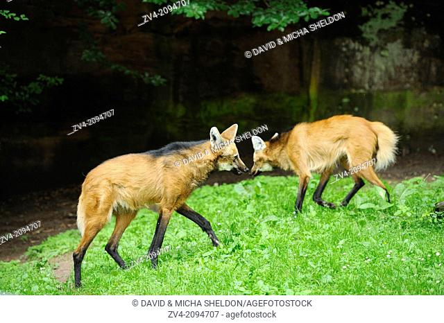 Close-up of two maned wolves (Chrysocyon brachyurus) on a meadow