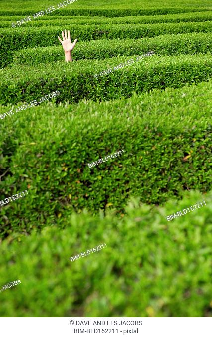 Lost Hispanic woman raising hand in hedge maze
