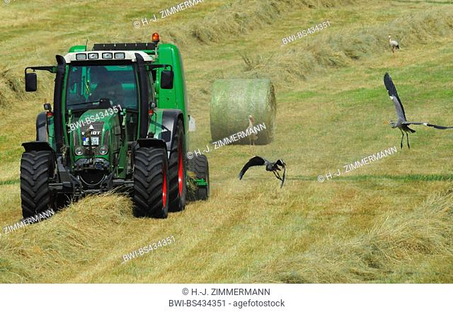 grey heron (Ardea cinerea), grey herons and white storks on the feed in a field next to a tractor, Germany