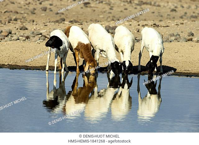 Kenya, lake Magadi, Masai cattle at a waterpoint
