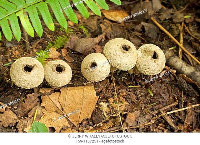 Mushrooms, Lycoperdon perlatum, Great Smoky Mtns Nat Park, TN