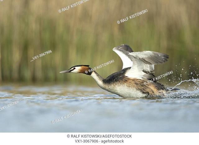 Great Crested Grebe (Podiceps cristatus) in a hurry, flapping its wings, taking off from a stretch of water, chasing a rival, wildlife, Germany, Europe
