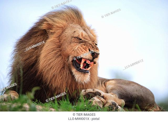 Adult male lion Panthera leo snarling