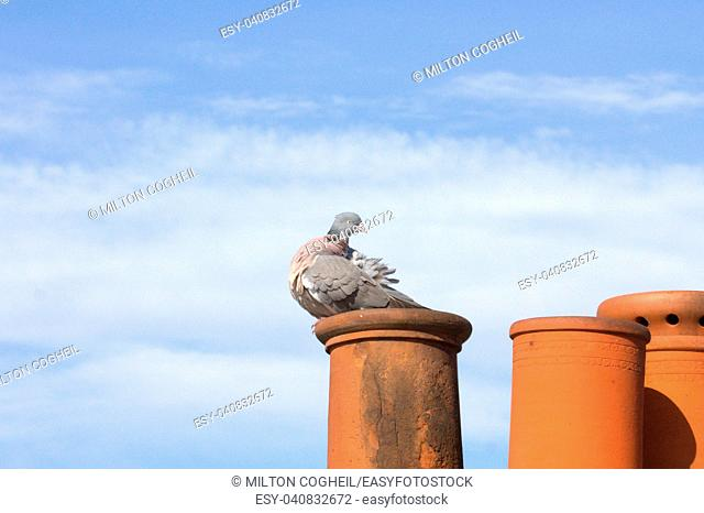 A common pigeon perched upon a chimney pot
