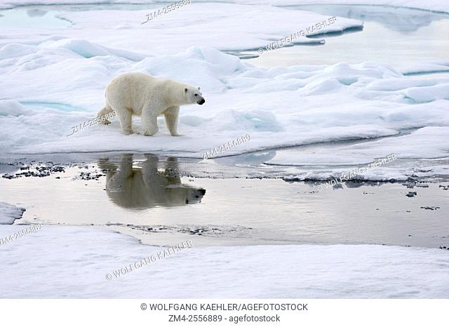 A polar bear (Ursus maritimus) is walking over the pack ice north of Svalbard, Norway