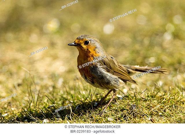 Robin (Erithacus rubecula), Hesse, Germany
