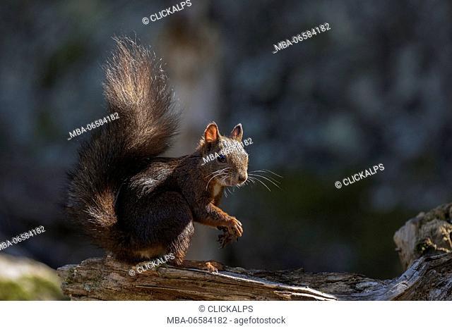 Adamello Natural Park, Lombardy, Ital, Squirrel