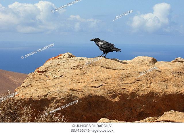 common raven on rock / Corvus corax