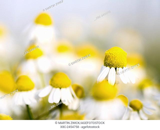 Chamomile (Matricaria chamomilla), Hortobagy National Park. Camomile is typical for the hungarian lowland steppe or Puszta during spring