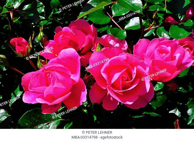 Botany, rose blossoms, red, shrub rose