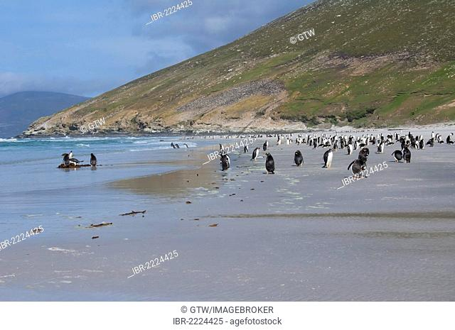 Group of Gentoo penguins (Pygoscelis papua) on the beach, Saunders Island, Falkland Islands, South America
