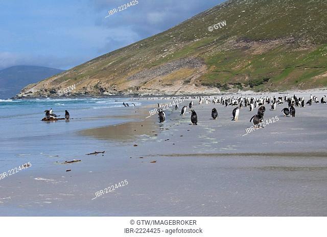 Group of Gentoo penguins (Pygoscelis papua) on the beach, Saunders Island, Falkland Islands, South America