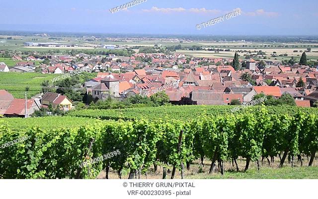 Vineyard at Dambach la ville, Haut Rhin, Alsace, France