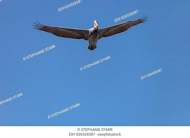 Brown pelican, Pelecanus occidentalis, looks down while soaring above across a blue sky in Huntington Beach, California, United States