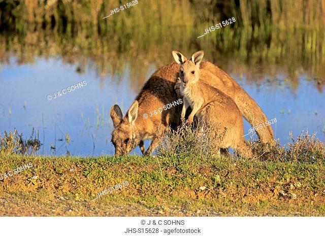 Eastern Grey Kangaroo, (Macropus giganteus), mother with young at water, Wilson Promontory Nationalpark, Victoria, Australia
