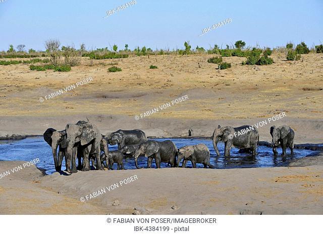 African bush elephants (Loxodonta africana), herd at Somalisa watering hole, Hwange National Park, Matabeleland North, Zimbabwe