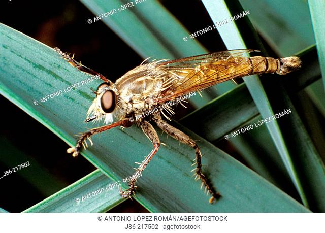Fly (Asilus cabroniformis)