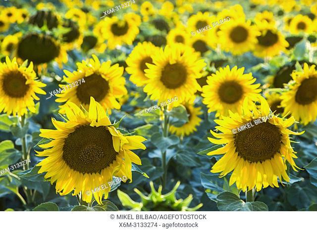 Sunflowers crop. Sorlada village and de San Gregorio monastry. Tierra Estella. Navarre, Spain, Europe