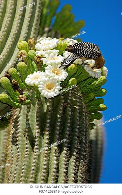 Gila Woodpecker Melanerpes uropygialis - Sonoran Desert - Arizona - Feeding on nectar and insects in the Saguaro cactus blossom - helps pollinate cactus - makes...
