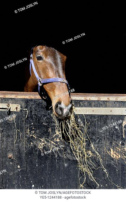 Horse in stables eating hay , Wales , UK