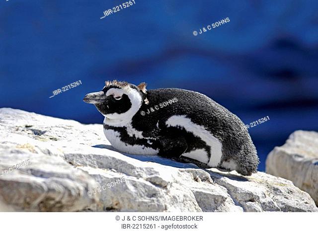 Jackass Penguin, African Penguin or Black-Footed Penguin (Spheniscus demersus), resting on rocks, Boulder, Simon's Town, Western Cape, South Africa, Africa