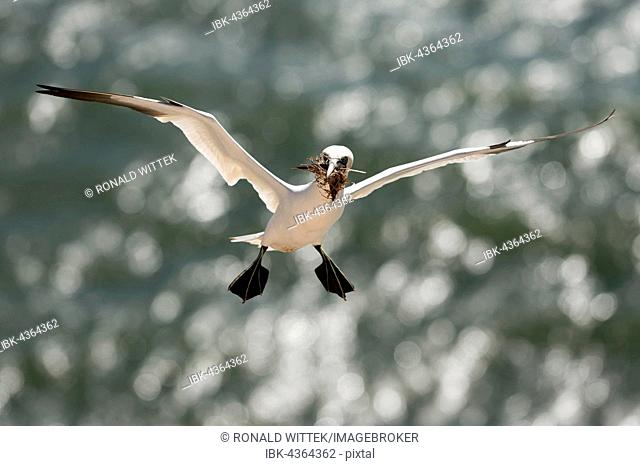 Northern Gannet in flight (Sula bassana), nesting material in its beak, breeding season, Schleswig-Holstein, Heligoland, Germany
