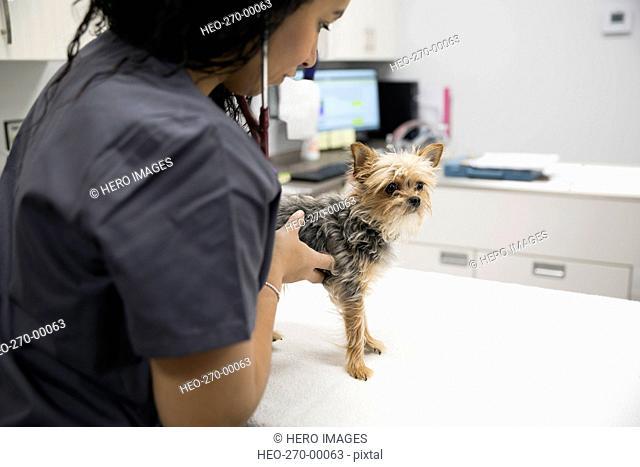 Veterinarian examining small dog in clinic examination room