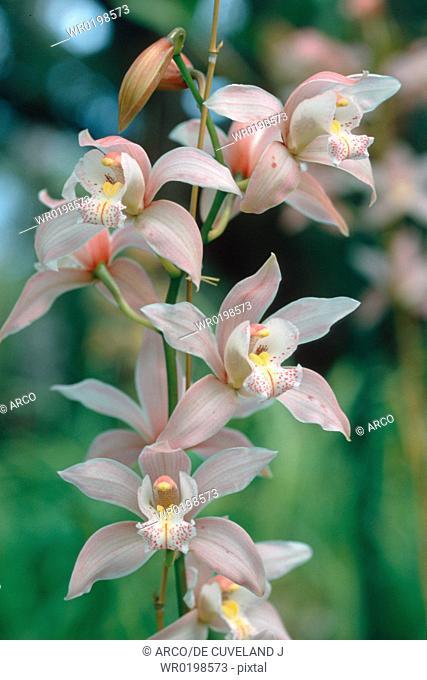 Orchid,Cymbidium, hybride