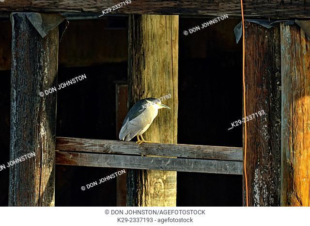 Black-crowned night heron (Nycticorax nycticorax) on wharf pilings, Morro Bay, California, USA