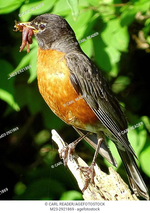 A female American robin, turdus migratorius, has plenty to feed her growing brood, Pennsylvania, USA