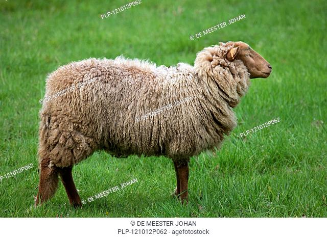 Ardense Voskop sheep Ovis aries in field, Belgium