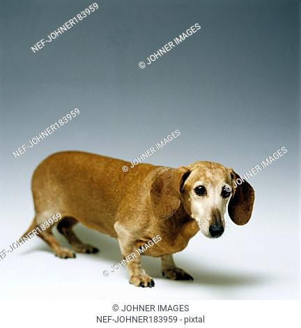 Dog standing against grey background
