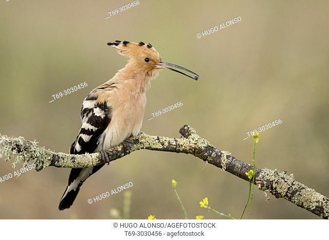 Eurasian hoopoe (Upupa epops). Spain