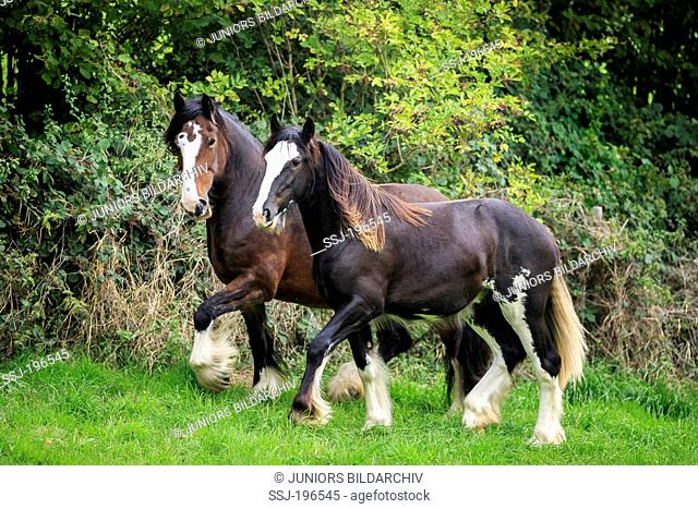 Shire Horse. Bay mare and piebald young stallion on a pasture. Germany