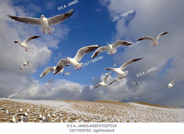 Black headed Gulls Larus ridibundus in flight in winter