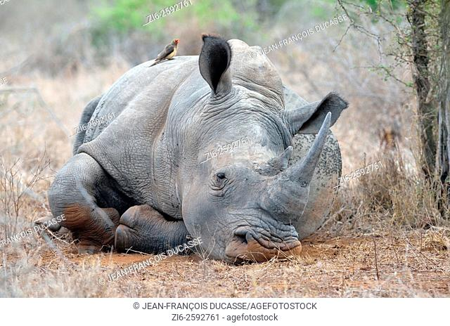 White rhinoceros (Ceratotherium simum), lying down, covered with flies, with a Red-billed Oxpecker (Buphagus erythrorhynchus) on its back, Kruger National Park