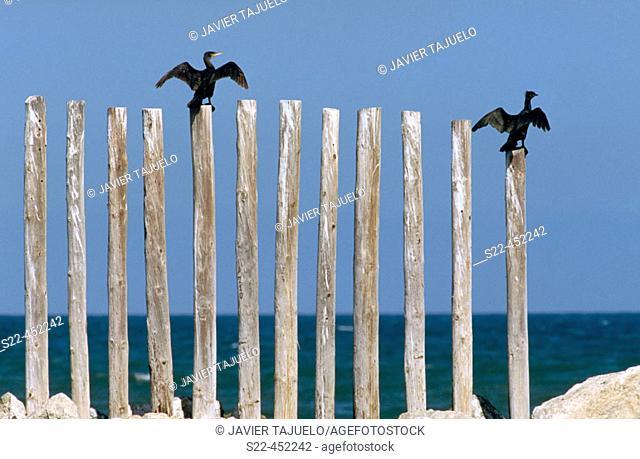 Great Cormorant (Phalacrocorax carbo). Valencia, Comunidad Valenciana, Spain