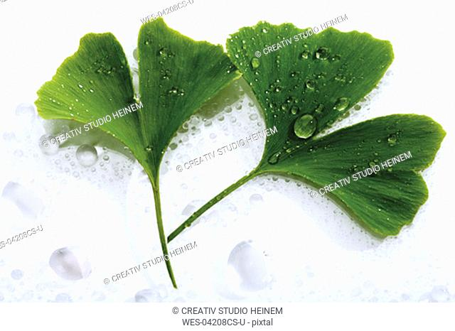 Ginko leaves with water drops