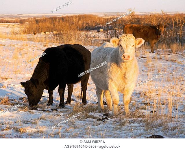 Livestock - Charolais and Black Angus beef cows feeding on a snow covered Winter pasture at sunset / Alberta, Canada